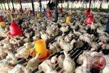 Waspada .... ayam potong mengandung bakteri E.coli