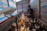 Pedagang di Palu terpaksa datangkan ayam potong dari Sulsel dan Sulbar