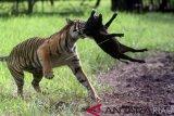 Harimau masuk kampung di Solok Selatan, serang ternak warga
