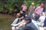 200 ribu ikan Tawes dilepas di Danau Lumpias