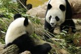 Panda Cengdu nyaris terkam pengunjung Festival Es Beijing