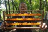 Royal jelly lebah madu