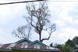 Pohon durian di Sungayang Tanah Datar diserang penyakit aneh, buah bergantungan daun habis tak bersisa