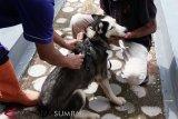Tahun ini,  2.000 anjing liar di Agam bakal dieliminasi