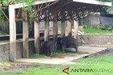 Taman Satya Taru Jurug cari pengganti gajah jantan