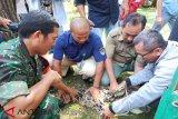 Macan Dahan nyasar ke pemukiman warga dapat perawatan dari BKSDA Kalteng
