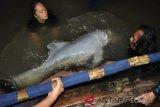 Akhir Bahagia untuk Lumba-lumba Putih yang Tersesat di Labuhanbatu