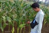 Ada jagung tongkol empat di Taman Sains Pertanian Sukarami