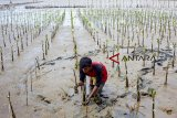 Pekerja menanam pohon magrove di Taman Ekowisata Mangrove Tangkolak, Cilamaya Wetan, Karawang, Jawa Barat, Sabtu (23/2/2019). Penanaman pohon mangrove tersebut untuk meningkatkan perbaikan lingkungan dan upaya pencegahan abrasi di kawasan pesisir pantai. ANTARA JABAR/M Ibnu Chazar/agr.