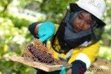 Amman Mineral budidayakan lebah madu di areal reklamasi