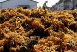 Supplier rumput laut kesulitan bahan baku