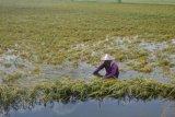 154 hektare lahan puso kena banjir, Pemprov Jateng siapkan asuransi