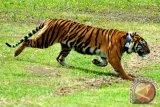 Harimau sumatera tewaskan buruh panen akasia di Riau