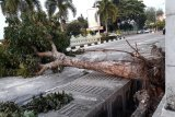 Pohon tumbang tutup Jalan Sisingamangaraja Pekanbaru