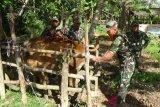 TNI programkan inseminasi 240 ekor sapi