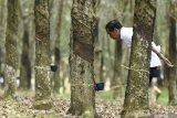Dinas Perkebunan  Sumsel: Banyak faktor harga karet tak kunjung naik