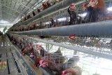Pelaku usaha peternakan ayam harus punya amdal