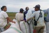 Di Bombana, petani masuk  musim panen
