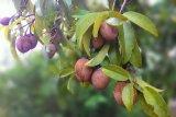 Manfaat buah sawo yang jarang diketahui