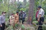Pencurian getah pohon Pinus di Gunung Soputan marak