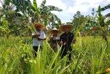 Pertamina gandeng petani Sulteng kembangkan limbah nanas