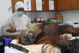 Petugas kesehatan memeriksa Hope, orangutan betina dewasa yang diselamatkan dari Subusssalam, Aceh (10/3/2019) di Pusat Karantina dan Rehabilitasi Orangutan Sumatera di Sibolangit, Sumatera Utara, Minggu (17/3/2019). Hasil pemeriksaan menunjukkan terdapat 74 peluru senapan angin di badan dan wajahnya sehingga menyebabkan buta total di kedua matanya. Selain itu Orangutan Hope juga mengalami patah tulang di bahu kiri serta dengan luka-luka benda tajam di sekujur tubuh dan kemudian menjalani operasi patah tulang dengan bantuan seorang ahli bedah tulang dan syaraf dari Swiss Dr. Andreas Messikommer, seorang relawan dokter yang sudah beberapa kali membantu tim medis YEL-SOCP menangani kasus serupa. (ANTARA FOTO)