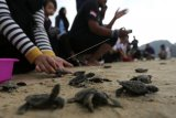 Aktivis lingkungan bersama warga melepas tukik (anak penyu) lekang (Lepidochelys olivacea) hasil penangkaran di pantai Lhoknga, Aceh Besar, Aceh, Kamis (21/3/2019). Pelepasan puluhan tukik lekang yang menjadi salah satu rangkaian menuju malam puncak earth hour 2019 di Aceh tersebut dijadikan kampanye penyelamatan penyu yang populasinya terus menurun akibat perburuan daging dan telur. (ANTARA FOTO)