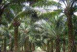 Merugi, Petani sawit di Konawe Selatan