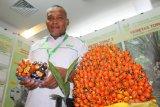 Seorang staf perusahaan sawit memperlihatkan sampel varietas sawit Topaz hasil produksi PT Tunggal Yunus Estate Asian Agri di pameran 3rd Borneo Forum yang digelar Gabungan Pengusaha Sawit Indonesia (GAPKI) se-Kalimantan di Pontianak, Kalimantan Barat, Rabu (20/3/2019). Dalam kesempatan tersebut, GAPKI mendorong perusahaan sawit untuk melakukan sertifikasi dan menerapkan Indonesian Sustainable Palm Oil System (ISPO) agar bisa meningkatkan daya saing minyak sawit Indonesia di pasar dunia. ANTARA FOTO/Jessica Helena Wuysang