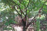 Harga Jual Kakao Rp23 ribu di Lampung Timur