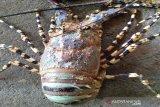 Lobster Mutiara muncul diperairan pantai selatan Gunung Kidul