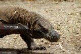 Komodo di luar habitat pengaruhi kunjungan wisatawan ke Labuan Bajo