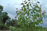 Eucalyptus, Pohon Asli Benua Australia Banyak Tumbuh di Sukorahayu Lampung Timur