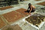 Semerbak harum aroma cengkih di Pulau Pisang Lampung