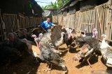 Kalkun di negara ini terdeteksi flu burung
