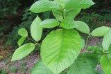 Polres Palangka Raya musnahkan 12 ton daun mengandung narkoba