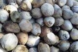 Bupati Gaghana ajak masyarakat olah kelapa jadi minyak goreng