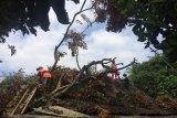 Angin kencang menumbangkan pepohonan di Sleman