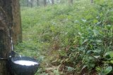 Wabah gugur daun, produksi karet diprediksi turun hingga 15 persen