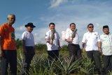 Badan Restorasi Gambut dorong pengolahan nanas di lahan gambut