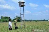 Petani Boyolali gunakan burung hantu kendalikan tikus