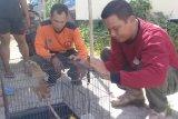 Warga sampit serahkan binatang dilindungi ke BKSDA
