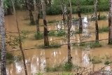 Ratusan hektare kebun karet di Mesuji terendam banjir