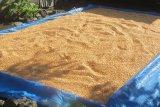 BUMDes Honihama bantu pasarkan hasil bumi petani