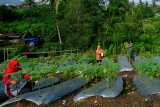 Disperpa dorong KWT budi daya sumber pangan lokal