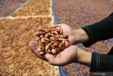 Miris, Sulteng tak lagi terima devisa dari kakao padahal komoditas primadona