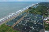 Puluhan hektare areal dikembangkan budi daya udang windu