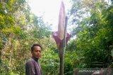 Tiga bunga bangkai ditemukan di Kampar Riau