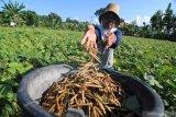 Akademisi Unsoed: Kacang hijau pilihan tepat saat kemarau panjang