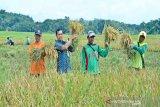 Luas panen menyusut, harga gabah di tingkat petani naik